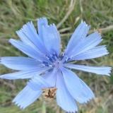 Flor silvestre de achicoria en caminos vecinales de Rio Colorado