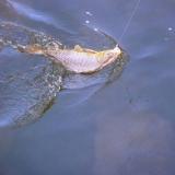 Pescando carpas...
