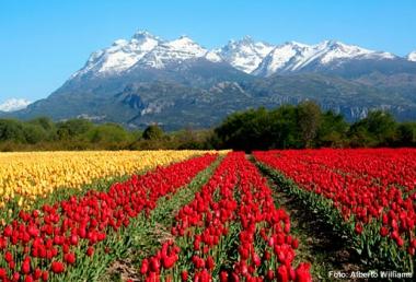 producción de tulipanes en Trevelin