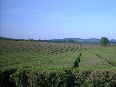 Plantación de té en General Roca