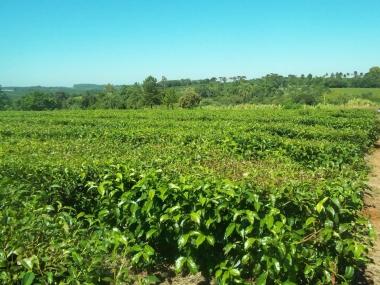 plantación de yerba mate. Los Helechos