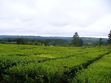 Plantación de té en 25 de Mayo