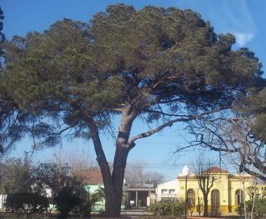 Retoño del histórico pino de San Lorenzo