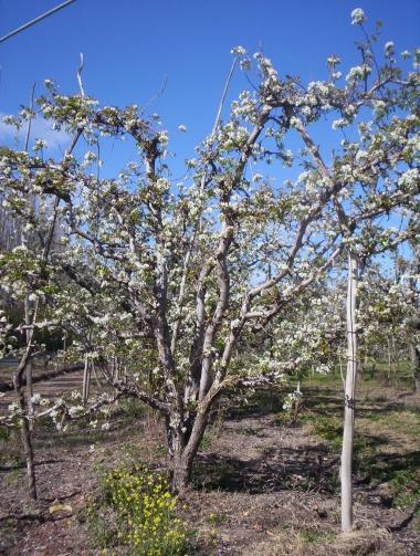 frutales en primavera
