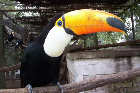 Tucán en Zoológico de Saenz Peña